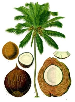kookos-kasvi
