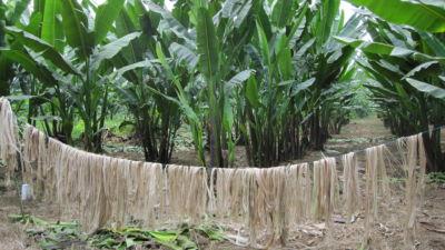 manilla-kasveja