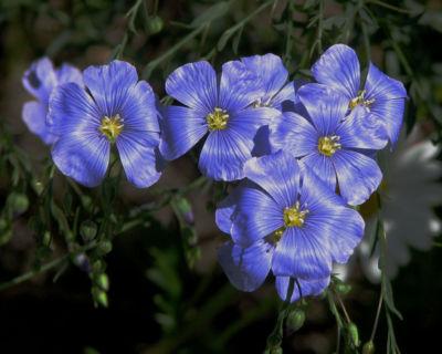 pellavan-kukkia