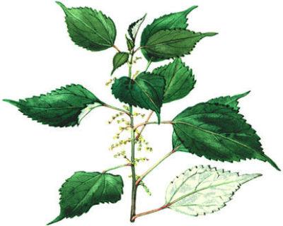 rami-kasvi