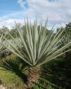 sisal-kasvi
